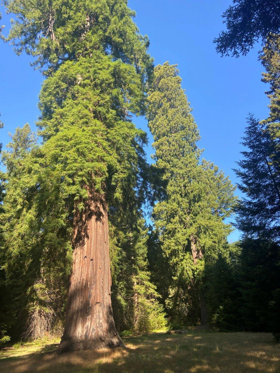 Big Trees 2.jpg