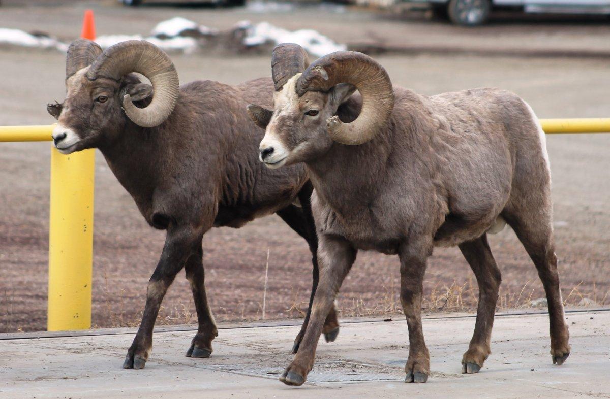 Bighorn4 010414.jpg