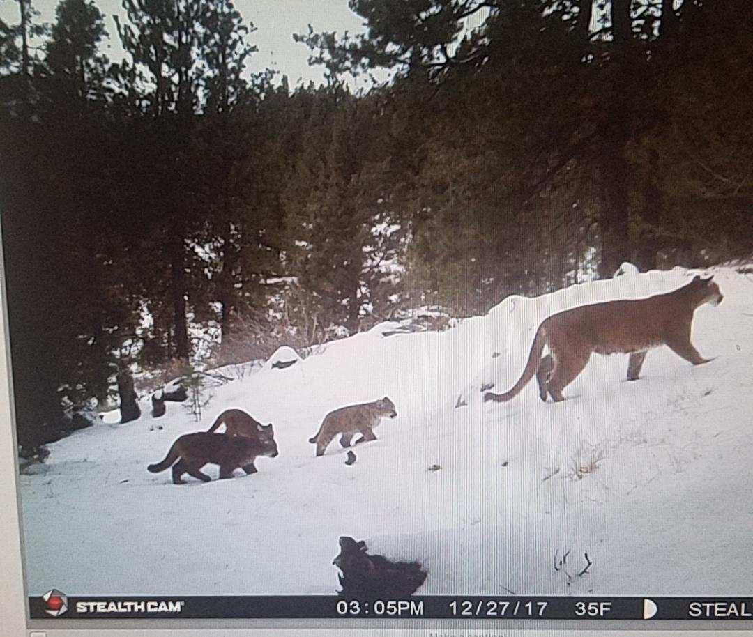 cougar pic.jpg