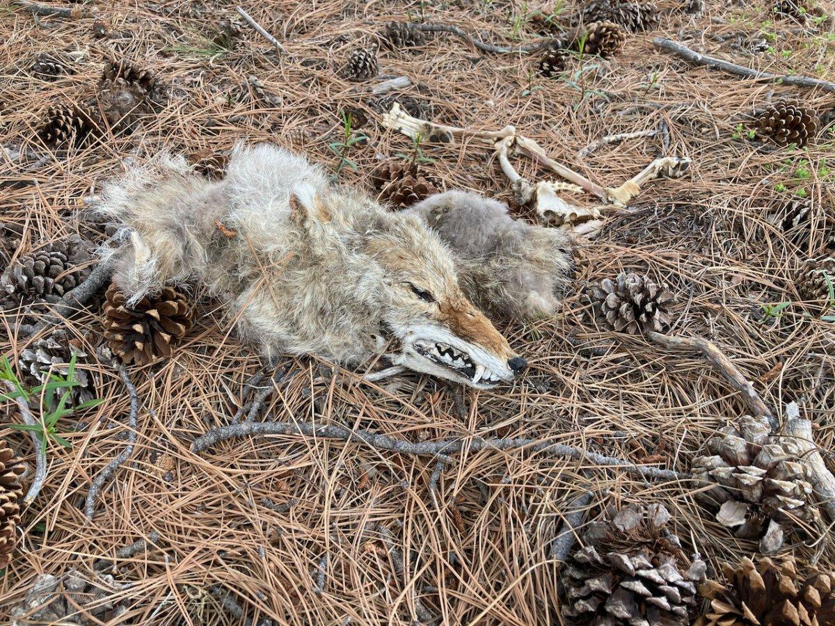 coyote - 1.jpeg