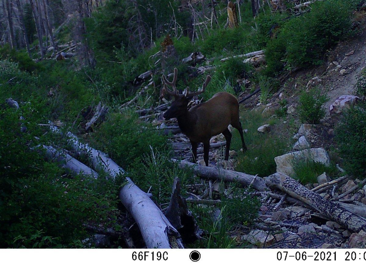 First Trail Cam bull.JPG