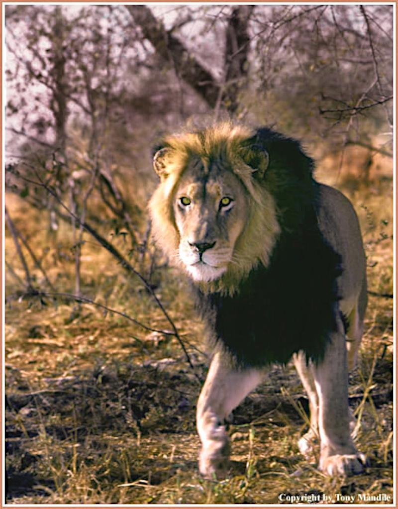 Lion2B.jpg