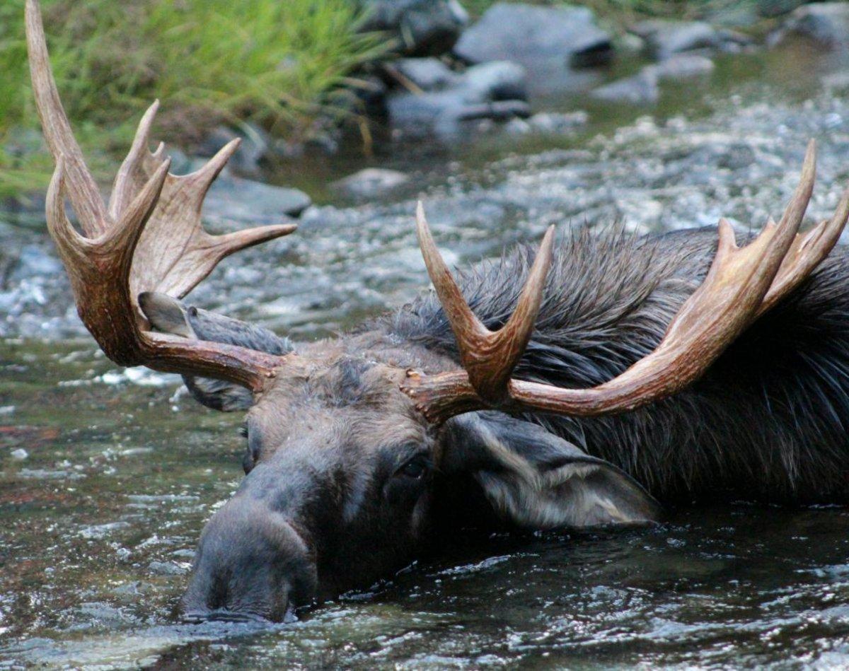 moose.jpeg