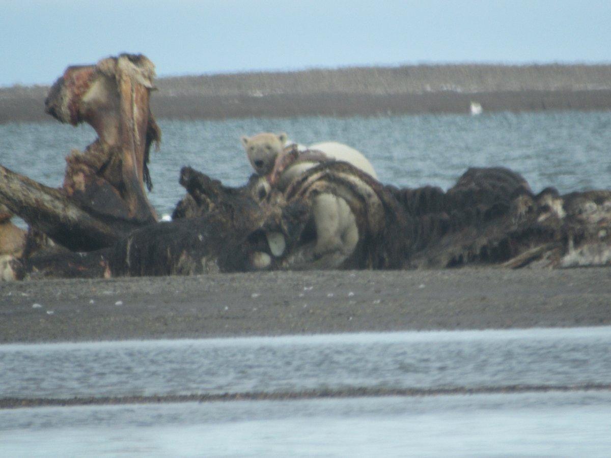 polar bear on Barter Island - 1 (2).jpeg