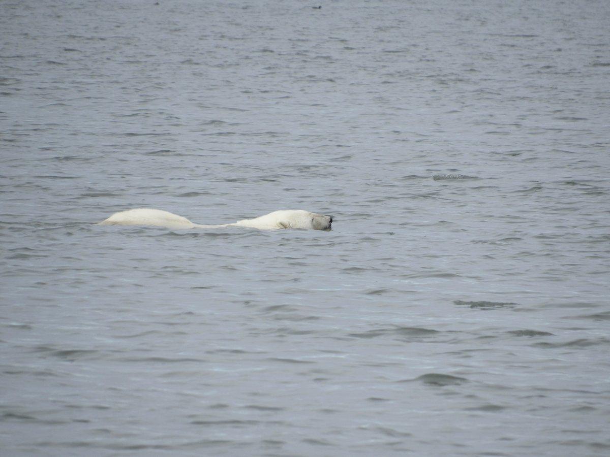 polar bear on Barter Island - 1.jpeg