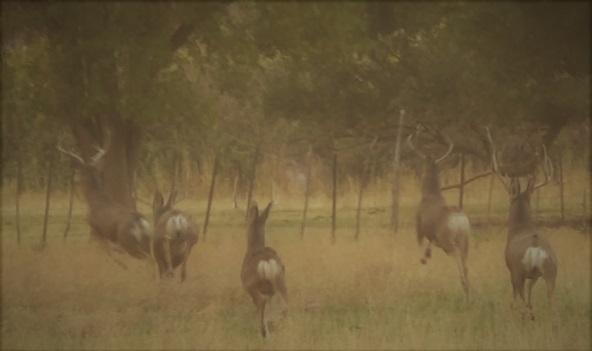 Running bucks.jpg