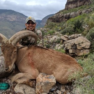 New Mexico Barbary Sheep