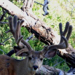 Amazing Droptine Trophy Mule Deer