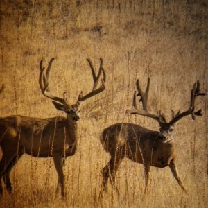 Two Monster Mule Deer