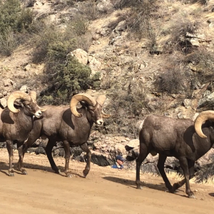 Big Horn Sheep movie.MOV