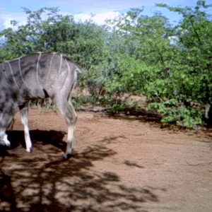 Trailcam Kudu Bull. South Africa