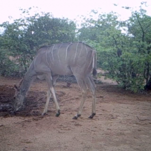 Trailcam Kudu herd. South Africa