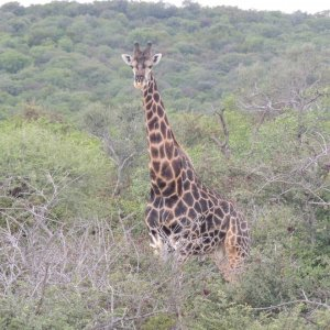 Dark Giraffe. South Africa