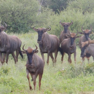 Blue Wildebeest _mafojani(1080P_HD).mp4