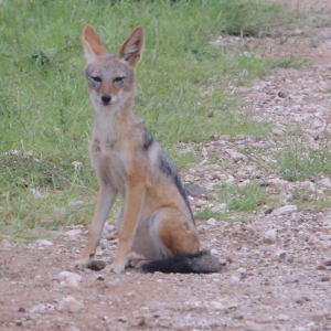 Black-backed Jackal(1080P_HD).mp4