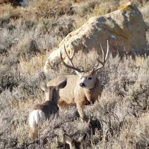 Great Looking Trophy Muley