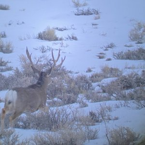 Wyoming Buck