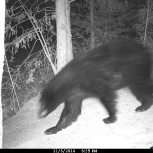 Trail Cam Bear 023.jpg