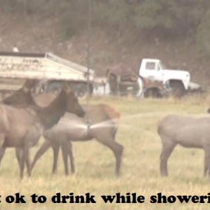 Elk drinking while showering - Copy.png
