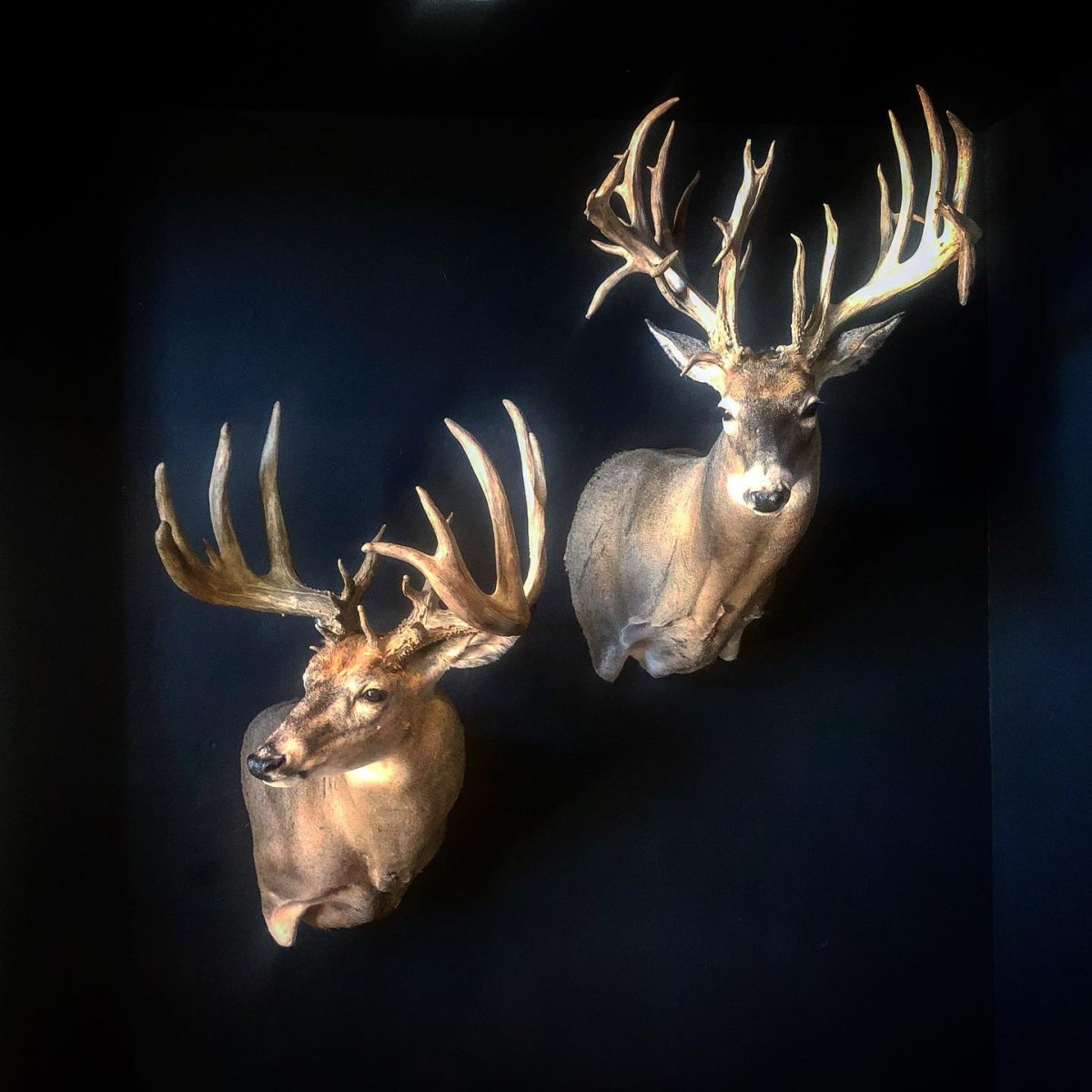 Couple Great Whitetail Trophies