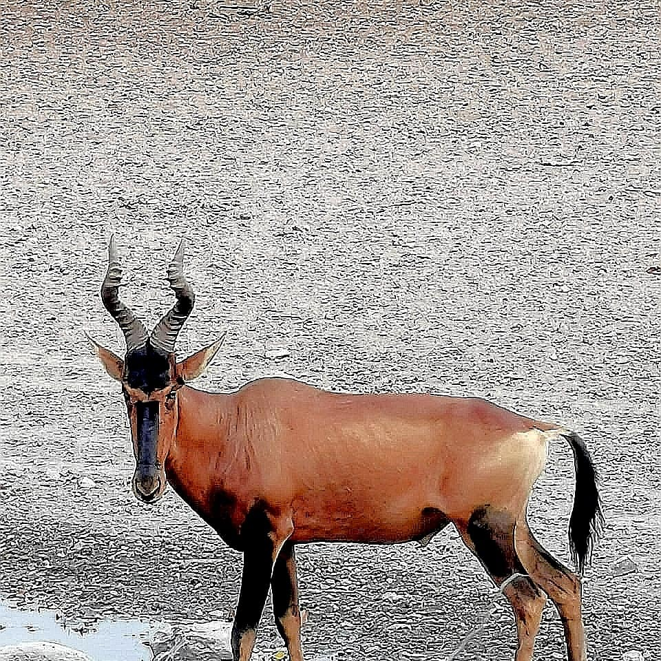Red hartebeest. South Africa.